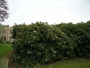 s white rhodo in April 2011